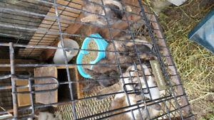 Cinnamon X Standard Rex rabbits  for sale.