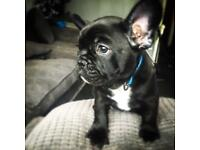 1 male French bulldog puppy left