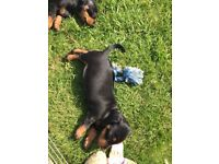 Kc registered Black and Tan miniature dachshund