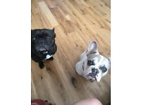 French Bulldogs for Sale 4 year old Male and 8month puppy
