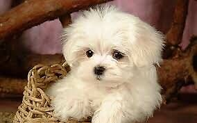 wanted : small white puppies