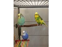 3 Budgies with large flight cage and accessories