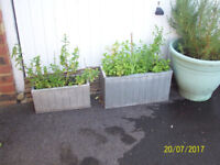 2 METAL TROUGHS WITH HERBS, 1 LARGE PLASTIC POT WITH ROSEMARY