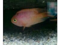 Parrot fish x2