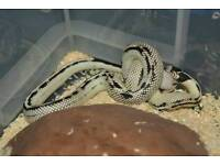 High white king snake