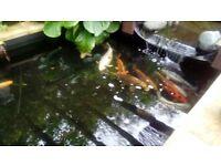 Koi Karp fish and extras including pond vac, 2 pond filters, lighting, etc