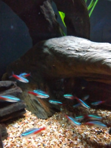 NEON TETRA, large size, 8 available...