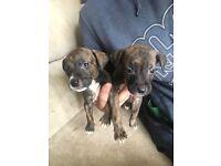 2 brindle girls staffie whippet puppies