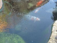 Koi fish for sale now to big for pond