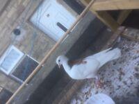 Stunning fancy pigeon