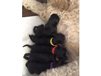 F2 cockapoo puppies - DNA PRA/FN health tested
