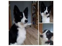 1 year old male collie