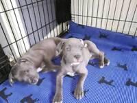Blue Staffordshire terrier (staff staffy)
