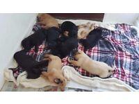 Labrador puppies - 3 black females - Pedigree