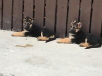 German Shepherd Pups For Sale, ONLY Two Girls Left !!!!