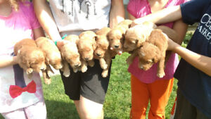 Standard goldendoodle pups F1 & F1b available, health guarantee