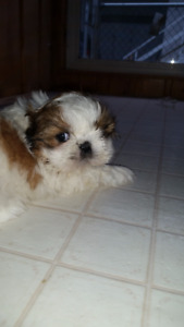 looking for great homes for my teddy bear shih tzu s