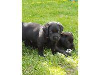 Labrador puppies kc reg ready sunday