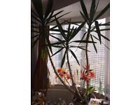 Yucca Plant (3m high)