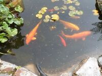 """3 beautiful gold Koi Carp 18""""long. also 6 small decorative fish.Open to offers. Buyer collects"""
