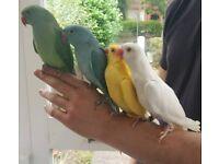 Talking Parrot Bird Pet + Cage