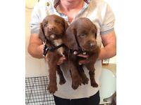 3. Sprocker puppies left