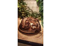 Royal (Ball) Python - Male Normal and Complete Set Up