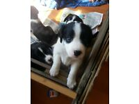 Husky cross english springer spaniel puppies