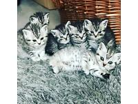 British shorthair bsh whiskas silver tabby spotted kittens for sale