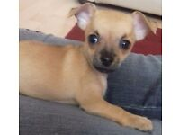 1 girl left from a litter of Chihuahua Jugs