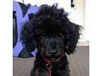 Black toy poodle boy