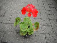 Plant for sale-Pelargonium/geranium plant-one plant in 10 cm pot