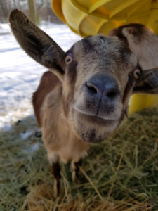 3 friendly female dairy goats and electronic fence