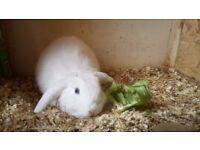 Male lop rabbit