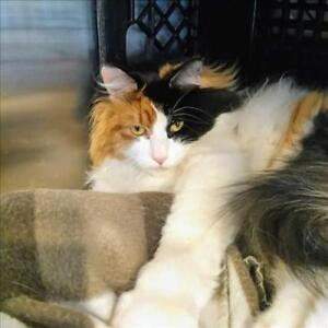 "Adult Female Cat - Domestic Long Hair: ""Cheesy"""