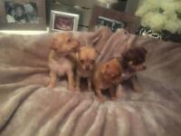 Pedigree chihuahua puppies ready for reservation now