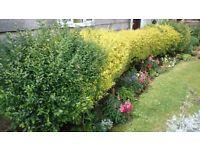 Yellow/green Boxwood evergreen Hedge
