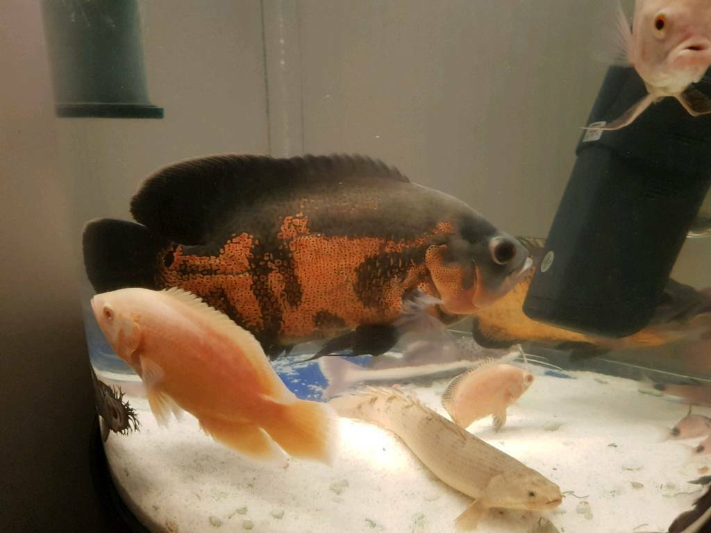 LARGE OSCAR FISH AND SMALL RED TAIL CAT FISH