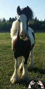 Gypsy Vanner - Yearling intact - AMAZING QUALITY AND BLOODLINES