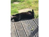 Black short hair Cat