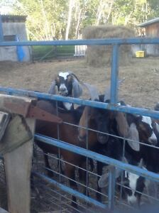 Small herd of Nubian goats for sale
