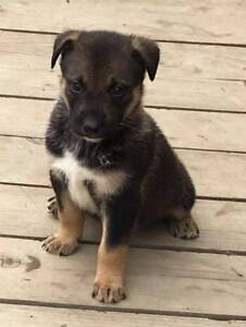 Paws for Love dog rescue has a 8 week lab/husky mix for adoption