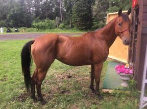 5 year old registered Appendix quarter horse  for sale
