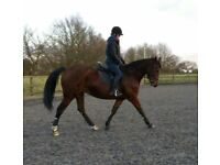 16.2 bay gelding and 10.2 shetland both up for loan