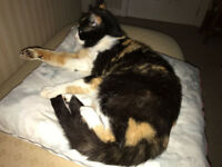 Found Woodford Stockport, young adult Tortoiseshell cat