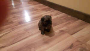 Shipoo puppies for sale ( puppies are all sold)