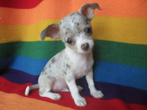 *** Absolutely Adorable Little Chihuahua Puppies ***2 Left***