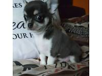 Blue try kc reg Chihuahua