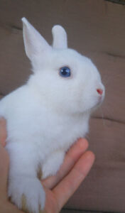 Purebred Netherland dwarf bunnies, different colors