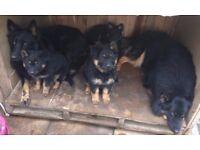Puppies of Bohemian Shepherd